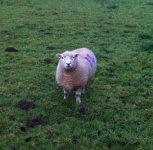 southdown sheep1