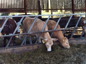 calves in pen