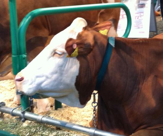 dairy cow livestock 2015