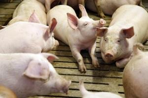 danish pigs