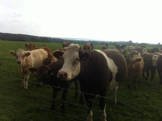 cattle at oxshot