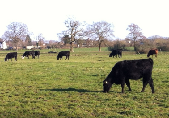 cattle at Ripley