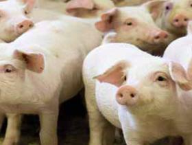 danish_pigs1