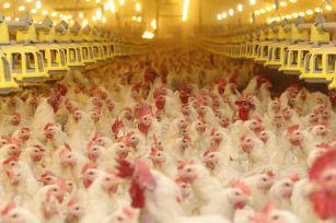 cherkizovo_chickens