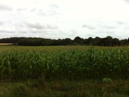 corn pic