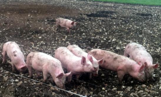 ockham_pigs
