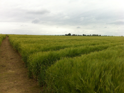 wheat_field2