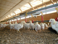 chickens-in-house2