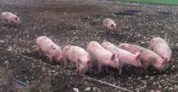 Pigs at Ockham 2