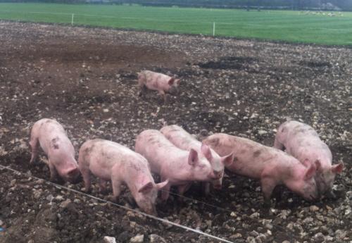 Pigs at Ockham 3