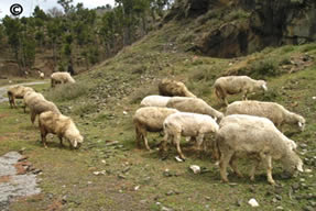 pakistan sheep