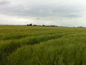 wheat_field1