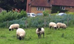 surrey_sheep2